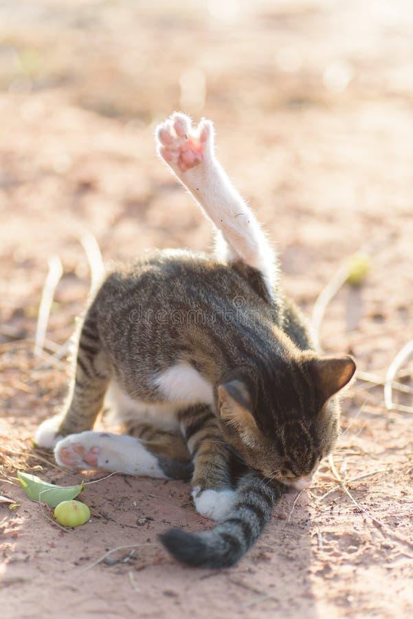 Śliczny kota liźnięcie, domycie i zdjęcia stock