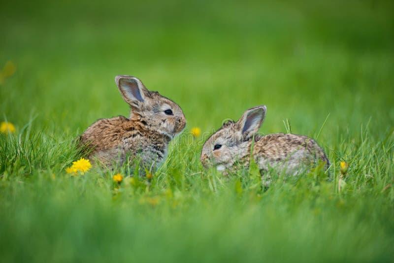 Śliczny królik z kwiatu dandelion obsiadaniem w trawie Zwierzęcej natury siedlisko, życie w łące Europejski królik lub błonie fotografia royalty free