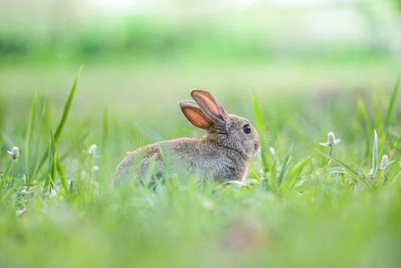 Śliczny królika obsiadanie na zieleni pola wiosny łąki, Wielkanocnego królika polowaniu dla festiwalu na trawie/ zdjęcie stock
