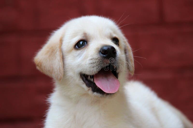 Śliczny labradora szczeniak zdjęcie stock