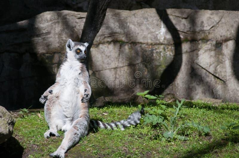 Śliczny lemur sunbating na trawie zdjęcie royalty free