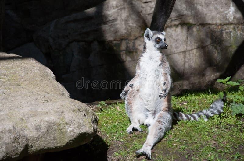Śliczny lemur sunbating na trawie zdjęcie stock