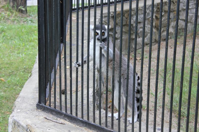 Śliczny lemur z lampasami zdjęcie stock