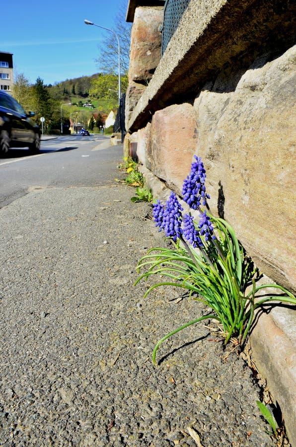 Śliczny lily rośliny dorośnięcie w ulicie obraz stock