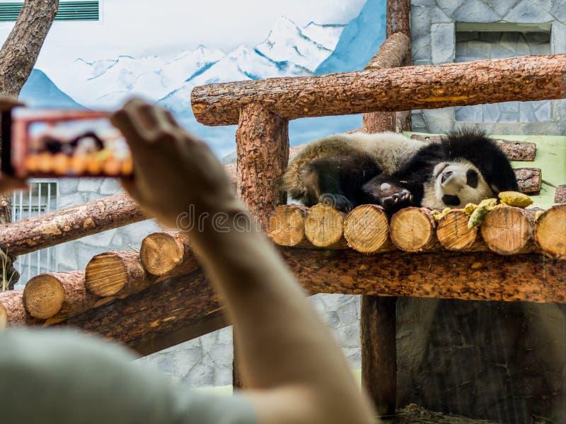 Śliczny lisiątko gigantycznej pandy dosypianie na drewnie Śmieszni i śliczni zwierzęta świat zdjęcie royalty free