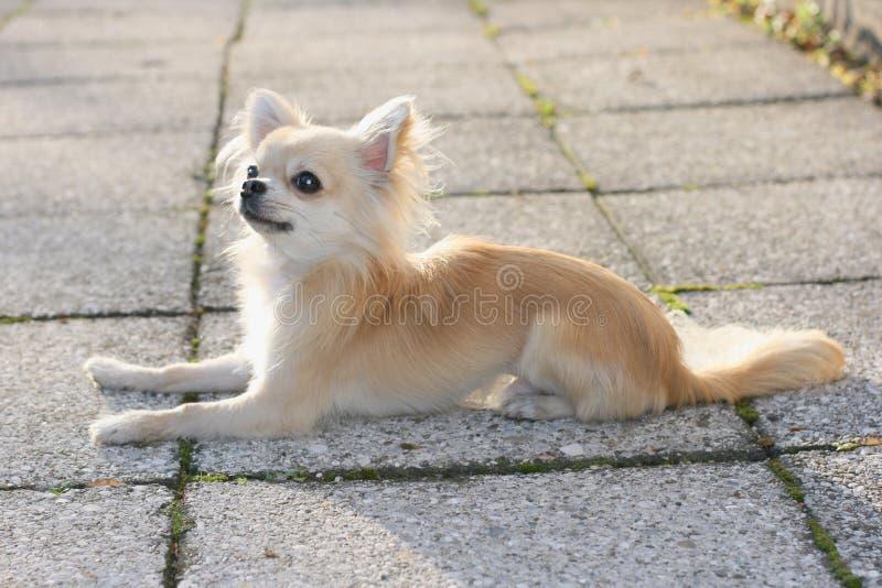 Śliczny longhair chihuahua zdjęcia stock