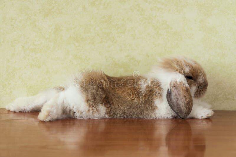 Śliczny lop dziecko słyszącego królika fotografia royalty free