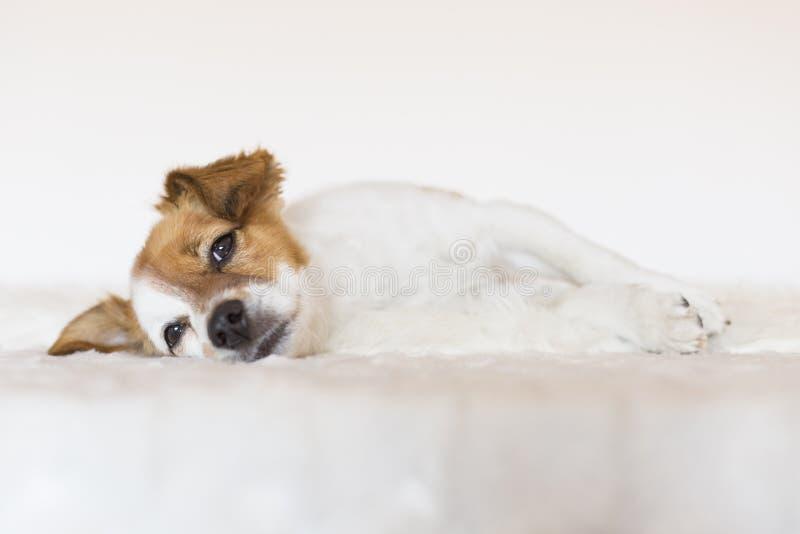 Śliczny młody mały pies kłaść puszek w łóżku i uczuciu relaksujących Miłość zdjęcia royalty free