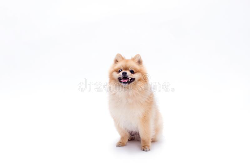 Śliczny młody pomeranian pies zdjęcia stock
