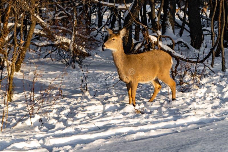 Śliczny młody puszysty rogacz chodzi w śnieżnym lesie fotografia royalty free