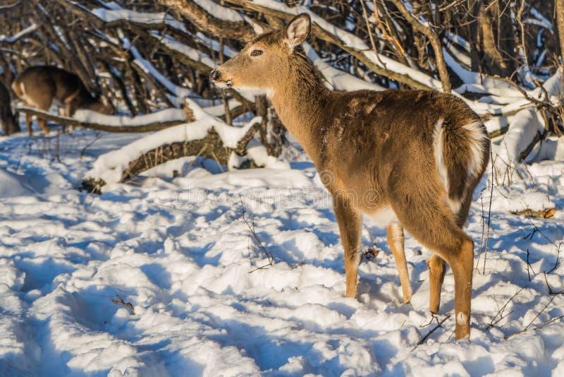 Śliczny młody puszysty rogacz chodzi w śnieżnym lesie, usa obrazy stock