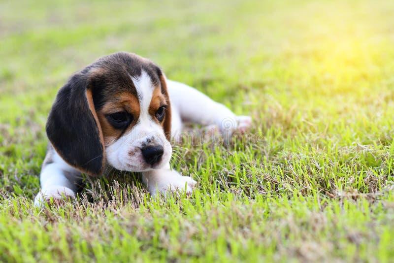 Śliczny mały Beagle fotografia stock