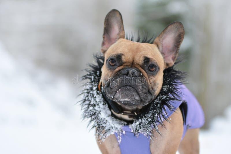 Śliczny mały brązu Francuskiego buldoga pies w purpurowym zima żakiecie z czarnym futerkowym kołnierzem w zima śniegu krajobrazie fotografia stock