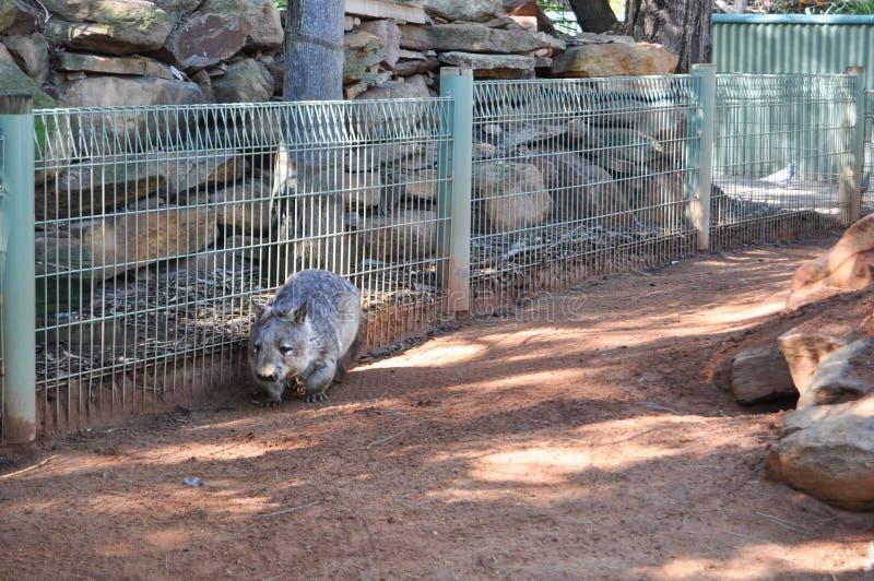 Śliczny mały brown wombat odprowadzenie w Australia zoo zdjęcie stock
