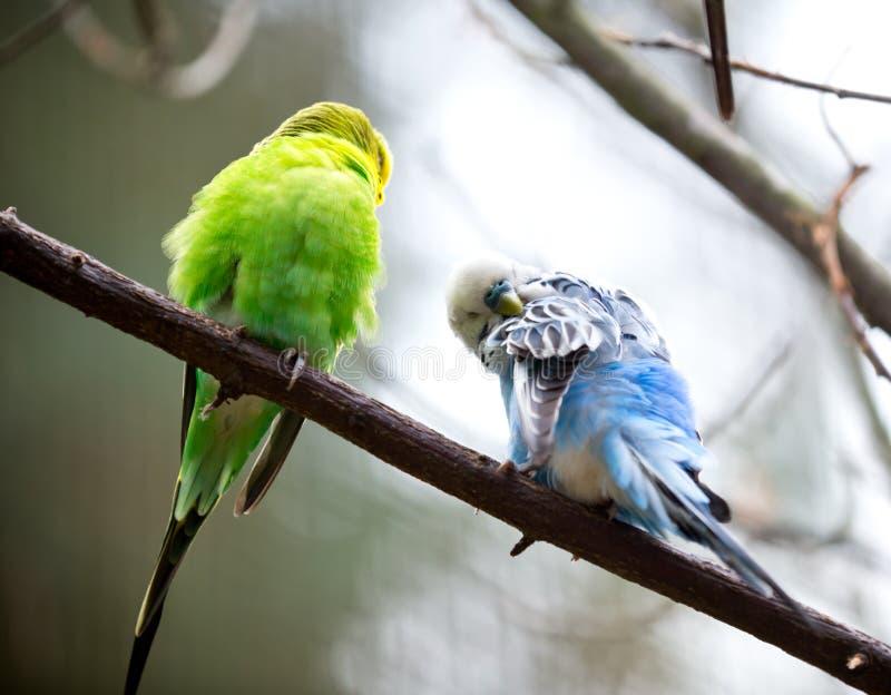 Śliczny Mały Budgie ptak zdjęcia stock