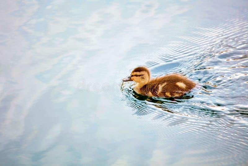 Śliczny mały dziecka kaczątka dopłynięcie zdjęcie royalty free