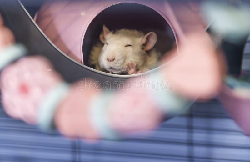 Śliczny mały dziecko szczura dosypianie w jego łóżku zdjęcie royalty free