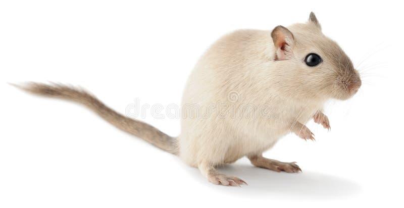 Śliczny mały gerbil zdjęcie stock