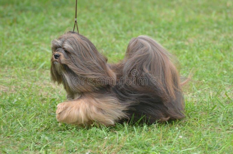Śliczny Mały Havanese szczeniaka pies obrazy royalty free
