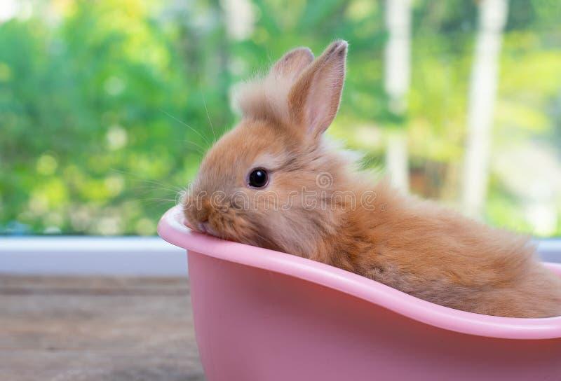 Śliczny mały jasnobrązowy królika królika pobyt wśrodku różowej wanny na drewno stole z zielonym natury tłem obraz royalty free
