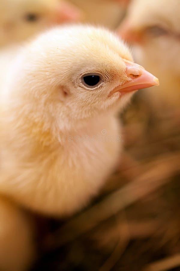 śliczny mały kurczak zdjęcia royalty free