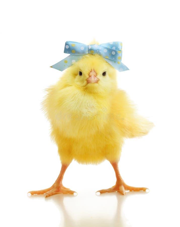 Śliczny mały kurczak odizolowywający zdjęcie royalty free