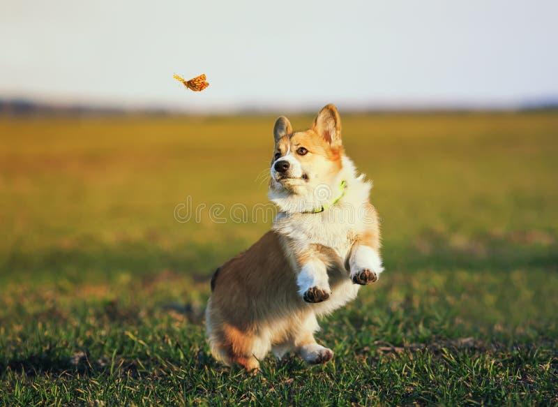 Śliczny mały miedzianowłosy Corgi szczeniak próbuje łapać latającego motyla na słonecznym dniu biega wokoło zielonej zab fotografia royalty free