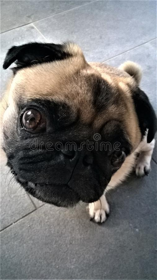 Śliczny Mały mopsa pies przyglądający w górę zdjęcie stock