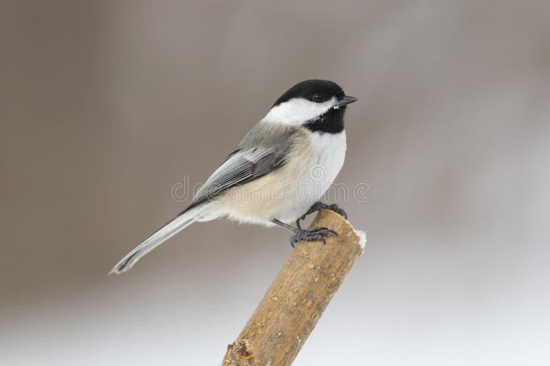 Śliczny mały nakrywający chickadee ptak odizolowywający na samotnej żerdzi fotografia stock