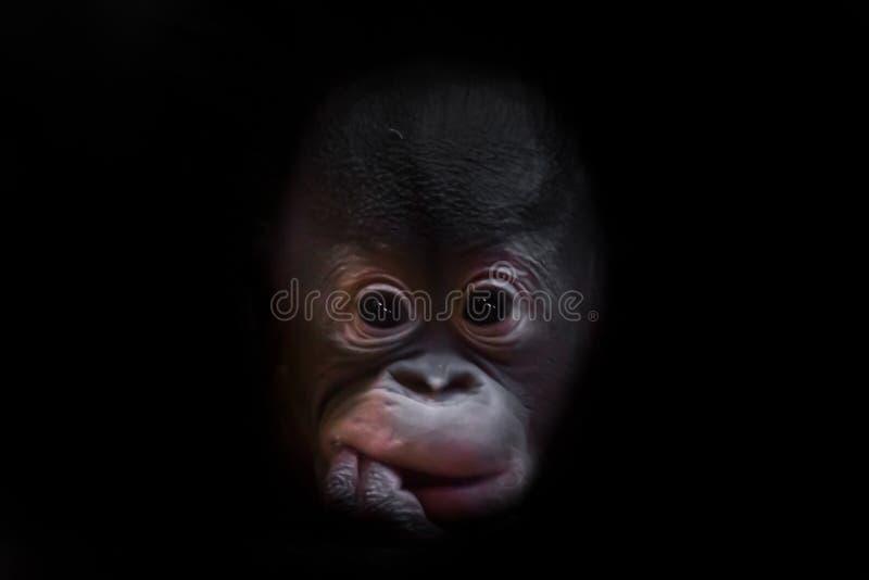 Śliczny mały orangutan dziecko z puszystym czerwonym włosy i podbitymi oczami zdjęcia royalty free