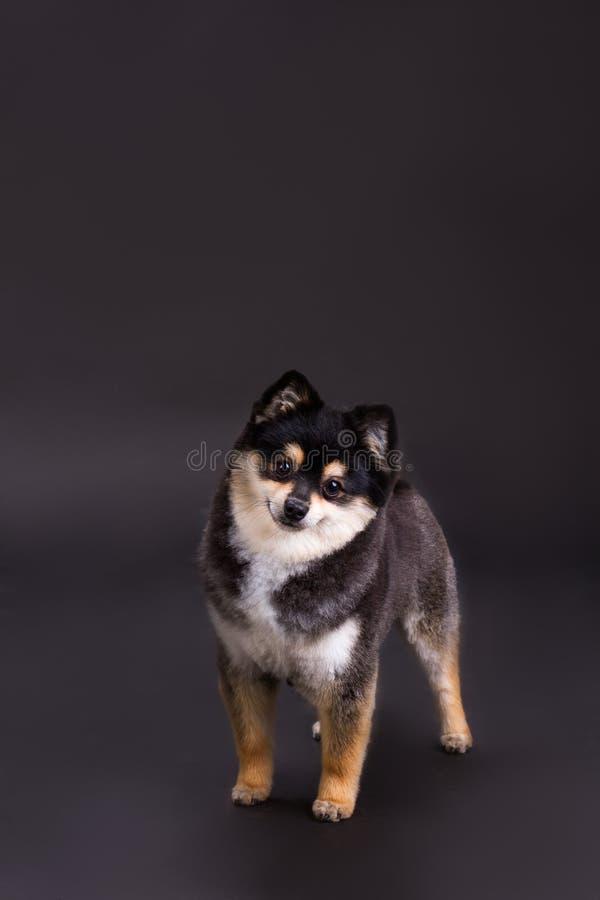 Śliczny mały pies, studio strzał zdjęcia stock
