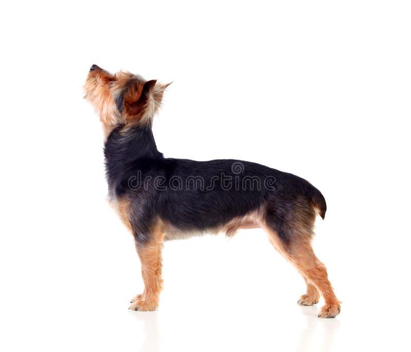 Śliczny mały pies z cutted włosy fotografia royalty free