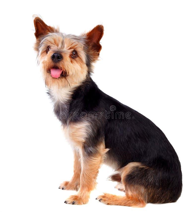 Śliczny mały pies z cutted włosy obrazy royalty free