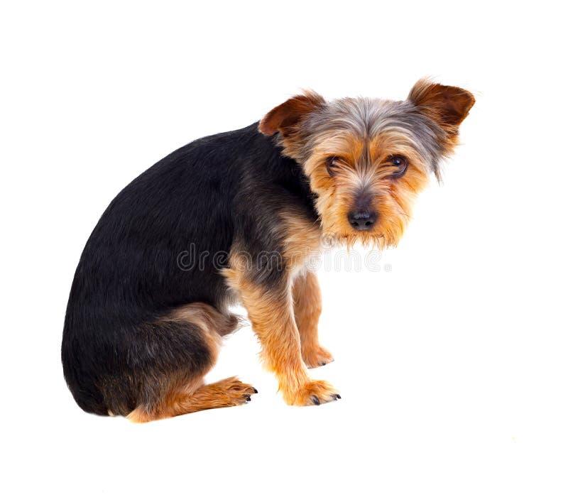 Śliczny mały pies z rżniętym włosy zdjęcia stock