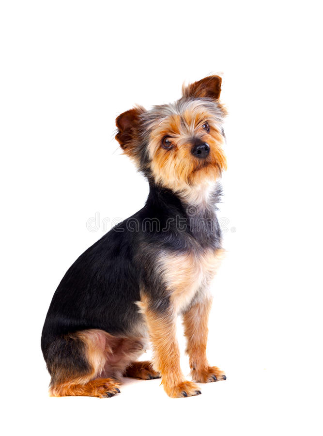 Śliczny mały pies z rżniętym włosy zdjęcie stock