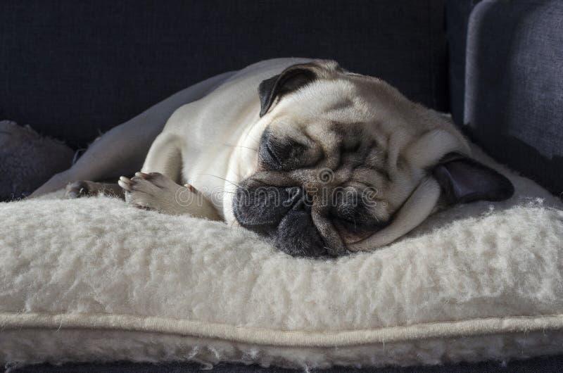 Śliczny mały psi trakenu mopsa dosypianie na wełny poduszce fotografia stock