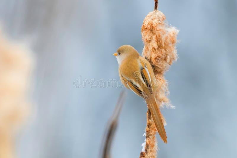 Śliczny mały ptak, Brodaty tit, żeński Brodaty reedling panurus biarmicus obraz stock