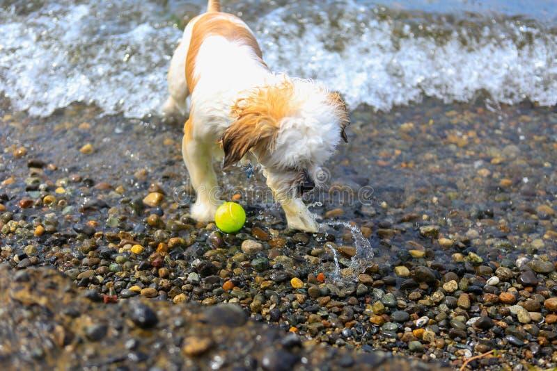 Śliczny Mały Shih Tzu pies z piłką na plaży obrazy royalty free