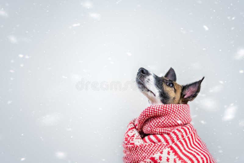 Śliczny mały szczeniak w białym i czerwonym zima szaliku w śnieżnym tle fotografia royalty free