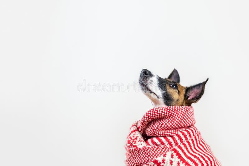 Śliczny mały szczeniak w białym i czerwonym zima szaliku przyglądającym w górę zdjęcie royalty free