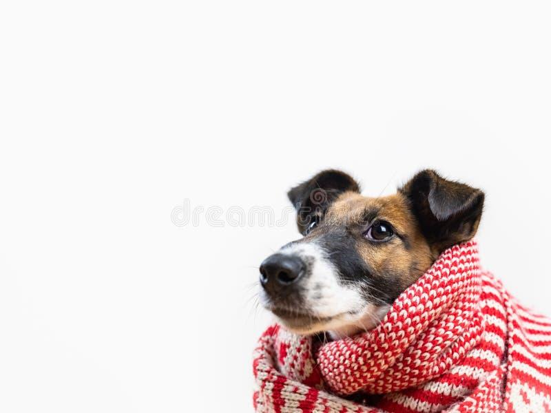 Śliczny mały szczeniak w białym i czerwonym zima szaliku przyglądającym w górę zdjęcia royalty free