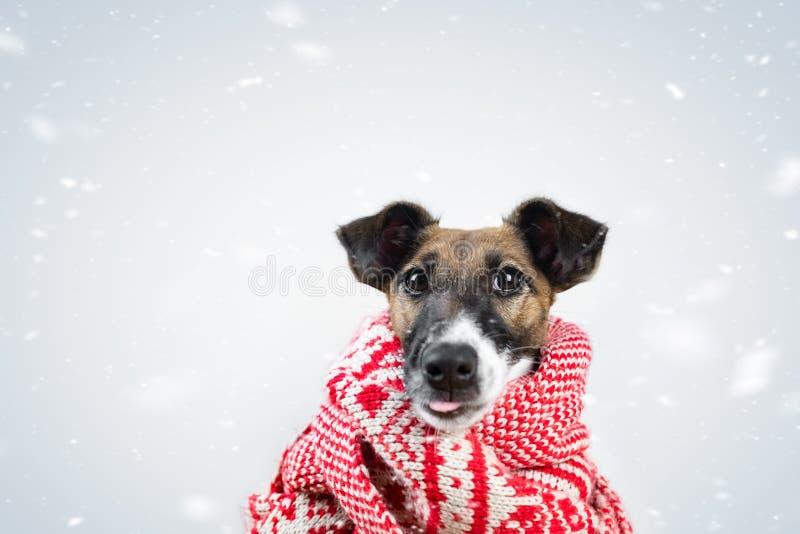 Śliczny mały szczeniak w zima szaliku łapie spada śnieg z jęzorem Portret młody lisa teriera pies w szaliku otaczającym obok obraz royalty free