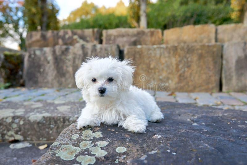 Śliczny maltese psa obsiadanie na skale obrazy stock