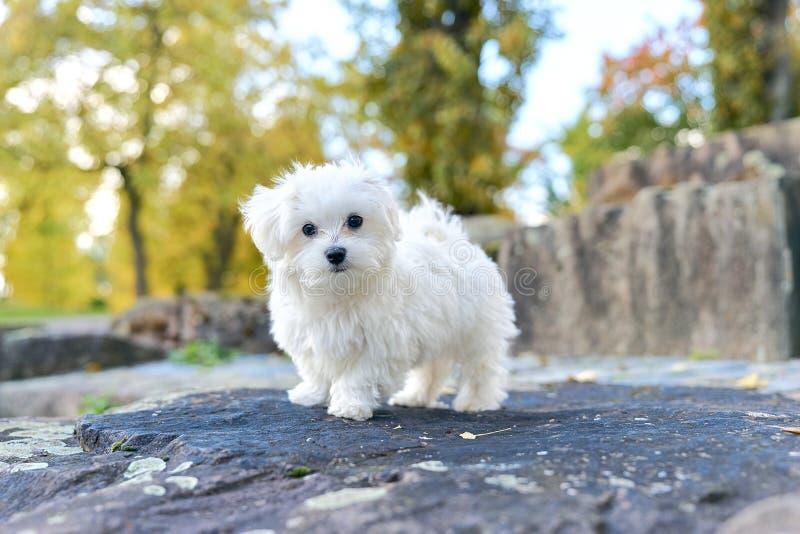 Śliczny maltese psa obsiadanie na skale zdjęcia stock