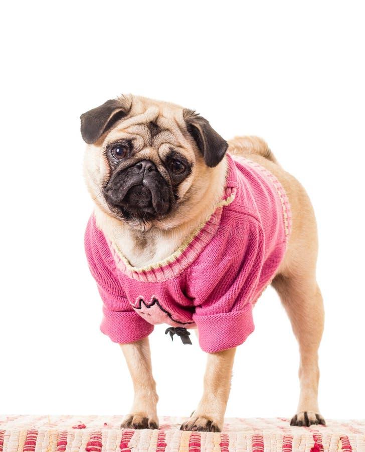Śliczny mops jest ubranym pulower obrazy royalty free