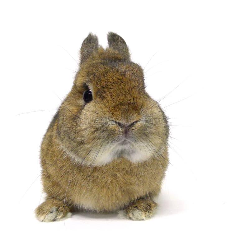 Śliczny netherland karła królik odizolowywający na białym tle obraz stock