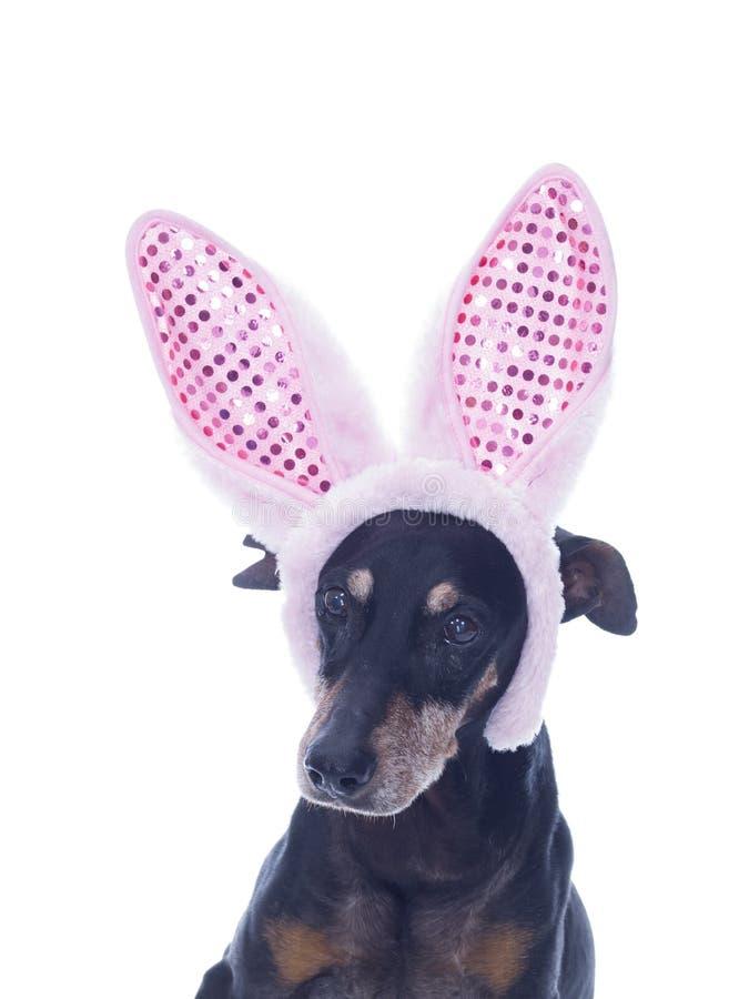 Śliczny Niemiecki Pinscher z Wielkanocnego królika ucho obrazy royalty free