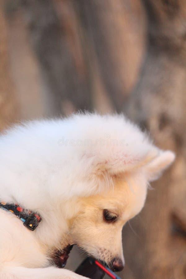 Śliczny parmenion pies od ind zdjęcia royalty free