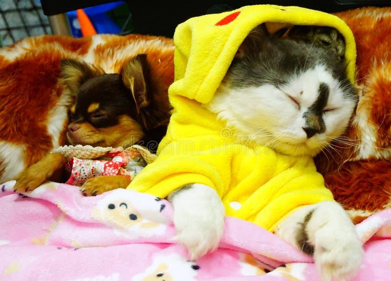 Śliczny Perski kot, mały pies i chomik Yutafamily przy zwierzę domowe rozmaitości wydarzeniem, zdjęcia stock