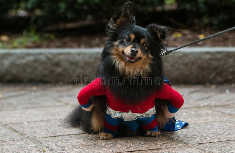 Śliczny pies Jest ubranym Super bohatera kostium Przy Atlanta Doggy przeciwem zdjęcia royalty free